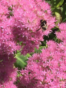 Pink bee