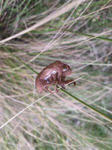 cicada-shell-on-grass