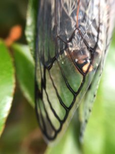 cicada-wing